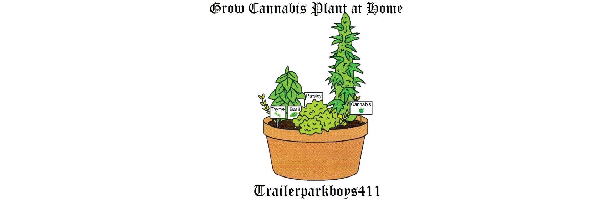 Grow Cannabis Plant at Home