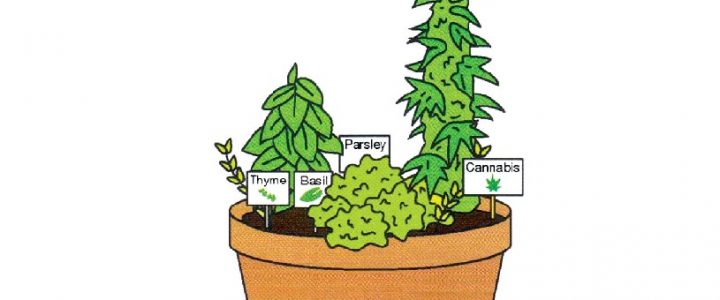 Grow Cannabis Plant at Home