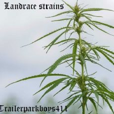 Landrace strains