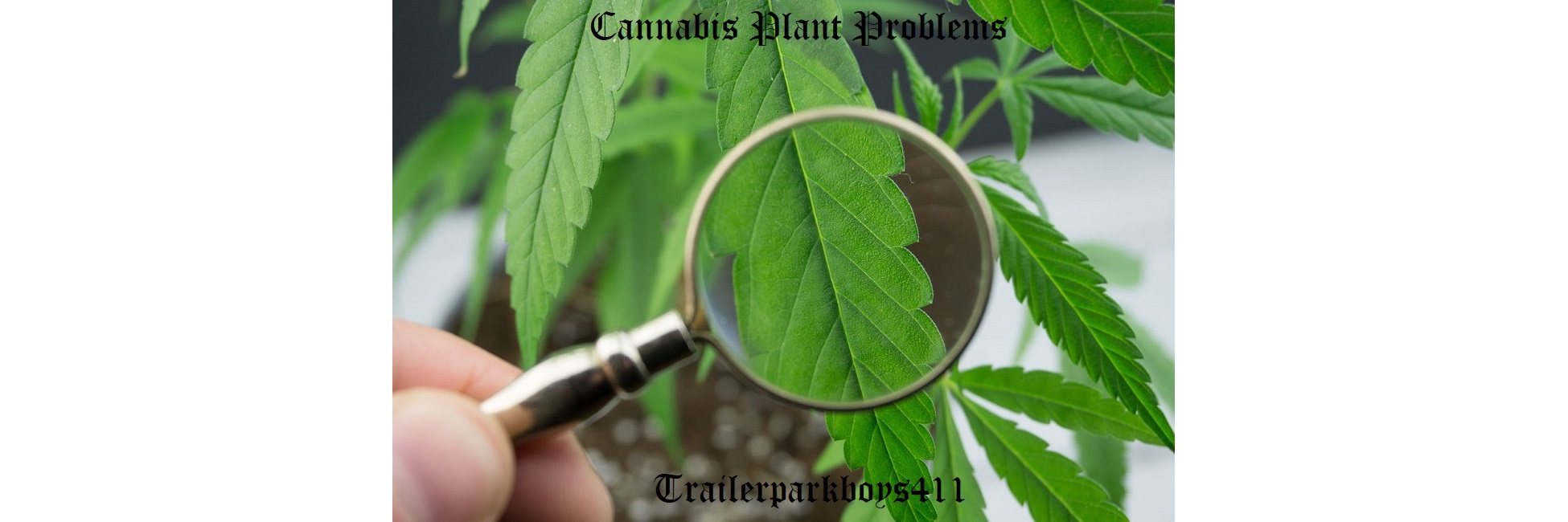 cannabis plant problems