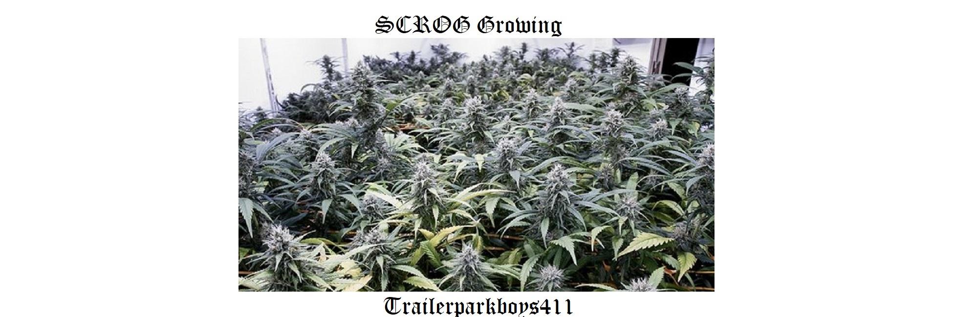 scrog grow