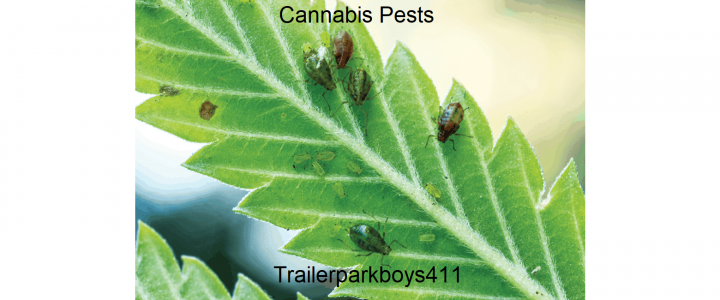 Cannabis Pests: What You Should Know