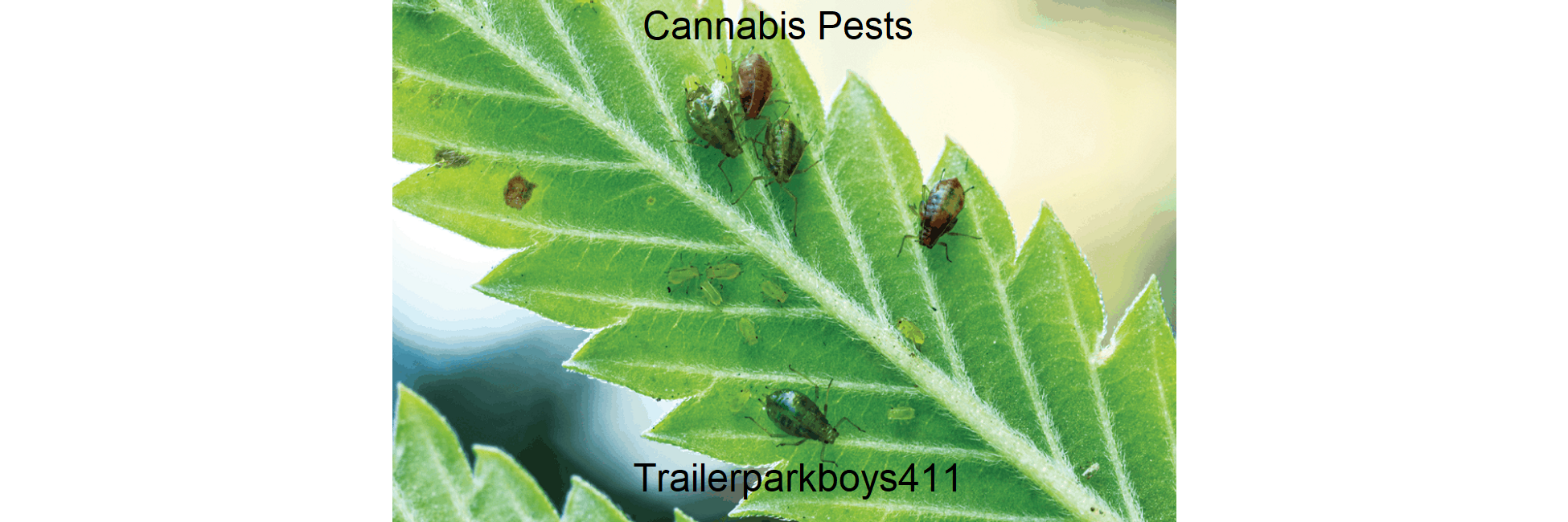 Cannabis Pests