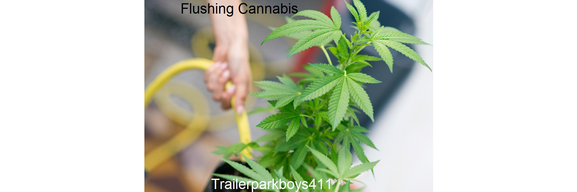 How To Flush Cannabis