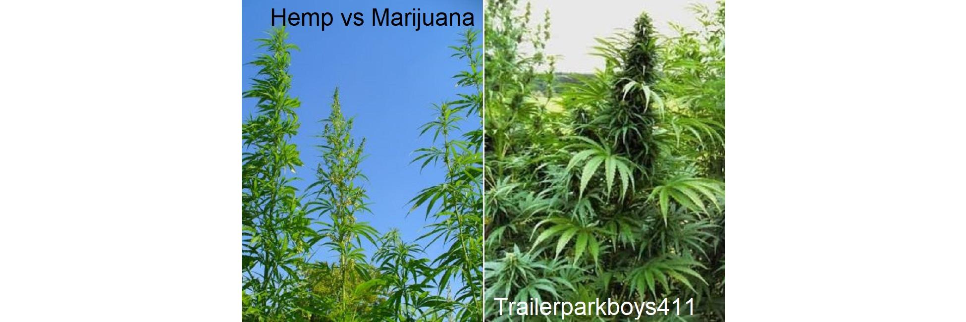 Hemp vs Marijuana What's the Difference