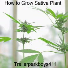 How to Grow Sativa Plant