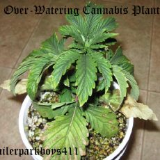 Over-Watering Cannabis Plants