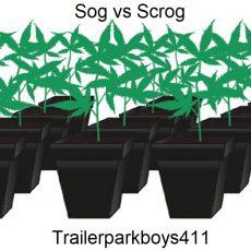 Planting Cannabis Sog vs Scrog