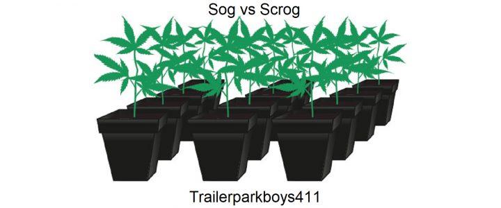 Planting Cannabis: Sog vs Scrog