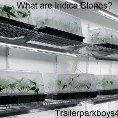 What are Indica Clones